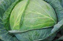 Описание гибрида белокочанной капусты Атрия F1