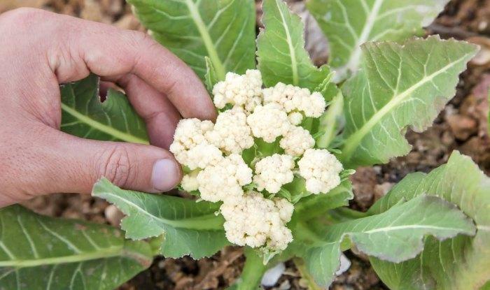 Рост цветной капусты