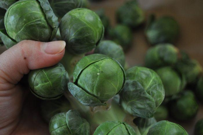 сбор урожая спелой капусты