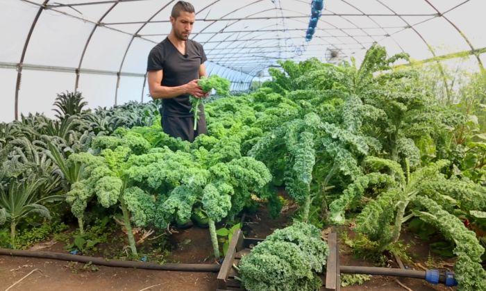 выращивание кейл в теплице