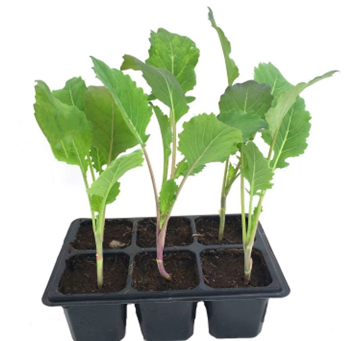 рассада листовая капусты кейл