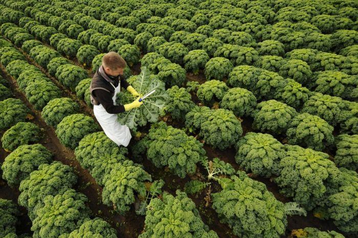 капуста кейл выращивание