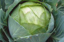 Описание сорта капусты Амагер и отзывы огородников