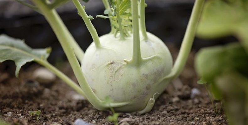 Храним без потерь кроличью капусту – кольраби!