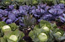 Как посадить капусту в открытом грунте: лучшие сорта, посадка, уход
