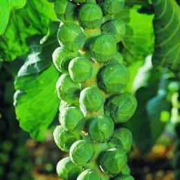Выращивание брюссельской капусты в домашних условиях
