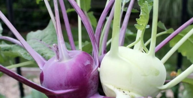 Капуста кольраби – использование в косметологии, народной медицине, в кулинарии