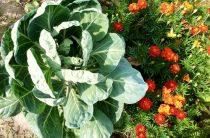 Подробное описание сорта белокочанной капусты Белорусская 455