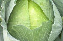 Позднеспелый сорт белокочанной капусты Сахарная голова