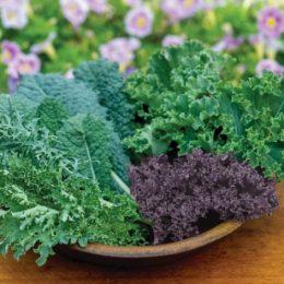 Домашнее выращивание листовой капусты Кейл
